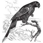 Papuan Lorikeet or Charmosyna papou vintage engraving — Vetor de Stock  #6751209
