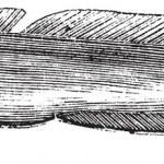 Common ling or Molva molva vintage engraving — ストックベクタ #6751214