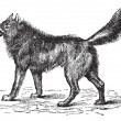 Eurasian Wolf or Canis lupus lupus vintage engraving — Stockvector  #6751220