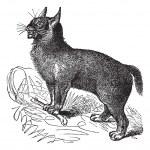 Canada Lynx or Lynx canadensis vintage engraving — Stock Vector #6751253