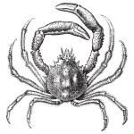 European spider crab or Maja squinado vintage engraving — Stock Vector