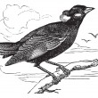 Common Hill Myna or Gracula religiosa vintage engraving - Vettoriali Stock 