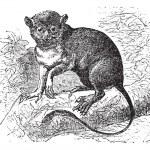 Spectral tarsier or Tarsius tarsier vintage engraving — Stock Vector #6751283