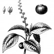 Manchineel tree or Hippomane mancinella vintage engraving - 图库矢量图片