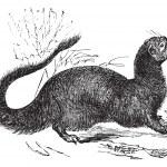 Egyptian Mongoose or Herpestes ichneumon vintage engraving — Stock Vector