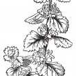 Common Horehound or Marrubium vulgare vintage engraving - 图库矢量图片