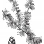 Tamarack (Larix Americana) or Hackmatack, vintage engraving — Stock Vector #6752881