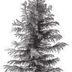 European larch (Larix Europaea) or Larix decidua, vintage engrav — Stock Vector #6752882