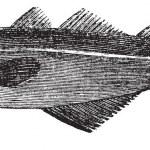 Common whiting (merlangus purpureus), vintage engraving — Stock Vector #6752894