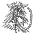 Mesquite (Prosopis glandulosa) or Honey Mesquite, vintage engrav — Stockvectorbeeld