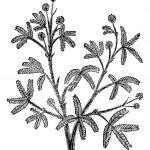 Sensitive (Mimosa pudica), vintage engraving. — Stock Vector #6754075