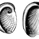 Haliotis tuberculatus, Haliotis Dubria, vintage engraving — Stock Vector #6754094