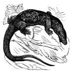 Nile monitor (Varanus niloticus) or Water Leguaan, vintage engra — Stock Vector #6754098