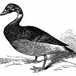 The Brent Goose or Branta Bernicla, vintage engraving - Stock Vector