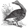 White-fronted goose (Anser Gambelii), vintage engraving — Stock Vector #6755473