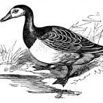 Barnacle goose (Branta leucopsis), vintage engraving. — Stock Vector #6755474