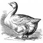 Bremen Goose, vintage engraving — Stock Vector #6755475