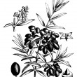 Common olive or Olea Europaea, vintage engraving — Stock Vector #6755477