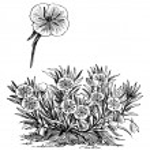 Oenothera missouriensis or Missouri Evening Primrose or Ozark Su — Stock Vector #6755481