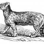 Snow leopard, Uncia uncia, Leopardus uncia or Panthera uncia, vi — Stock Vector #6755482