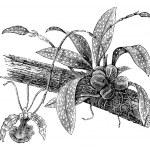 Butterfly Oncidium or Oncidium Papilio, vintage engraving — Stock Vector #6755483