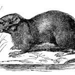 Ondatra, Fiber zibethicus or Muskrat, vintage engraving — Stock Vector #6755484