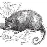 Opossum or Didelphis Virginiana, vintage engraving — Stock Vector #6755486