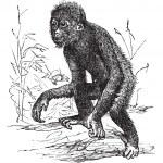 Orangutan or Pithecus satyrus, vintage engraving — Stock Vector #6755488