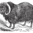 Muskox (Ovibos moschatus, musk ox), vintage engraving — Stock Vector #6755844