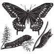 Black Swallowtail Butterfly or Papilio polyxenes, vintage engrav — Stock Vector
