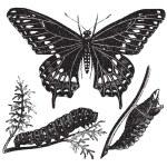 machaon noir papillon ou papilio polyxenes, engrav vintage — Vecteur