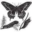 nero macaone farfalla o papilio polyxenes, engrav vintage — Vettoriale Stock