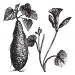 Sweet Potato or Ipomoea batatas, vintage engraving — Stock Vector #6756325