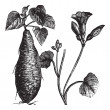 Sweet Potato or Ipomoebatatas, vintage engraving — Vecteur #6756325