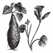 Vector de stock : Sweet Potato or Ipomoebatatas, vintage engraving