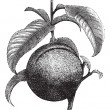 Vector de stock : Peach or Prunus persica, vintage engraving