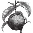 Cтоковый вектор: Peach or Prunus persica, vintage engraving