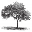 Peach or Prunus persica, vintage engraving - Imagen vectorial