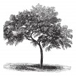 图库矢量图片: Peach or Prunus persica, vintage engraving