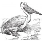 Great White Pelican or Eastern White Pelican or Pelecanus onocro — Stock Vector