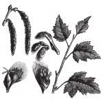 peuplier blanc ou populus alba, gravure vintage — Vecteur