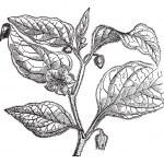 Physalide Peru (Physalis peruviana), vintage engraving. — Stock Vector #6757013