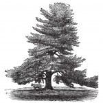 Постер, плакат: Eastern White Pine or Pinus Strobus vintage engraving