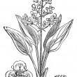 Water Plantain or Alisma sp., vintage engraving — Векторная иллюстрация