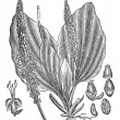 Постер, плакат: Greater Plantain or Plantago major vintage engraving