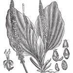 ������, ������: Greater Plantain or Plantago major vintage engraving