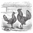 Stock Vector: Two Bantam chicken vintage engraving