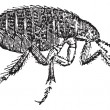 Human flea or Pulex irritans vintage engraving — Stockvektor