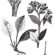 Lung officinale (Pulmonaria officinalis), vintage engraving. — Stock Vector