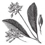 Yellow bark (Cinchona Calisaya)or Quina, vintage engraving. — Stock Vector